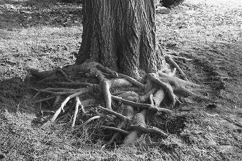 تیشه خشکسالی بر ریشه درختان