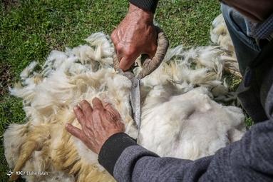پشمچینی گوسفندان - رودبار