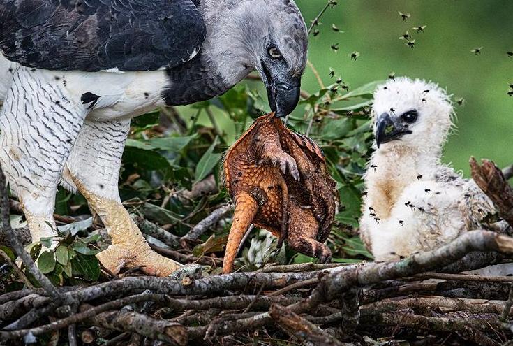 تصویر عجیب از تغذیه کثیف عقاب+عکس
