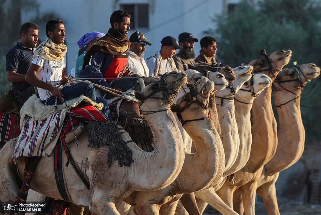 رقابت سنگین در مسابقات شتر سواری فلسطین+عکس