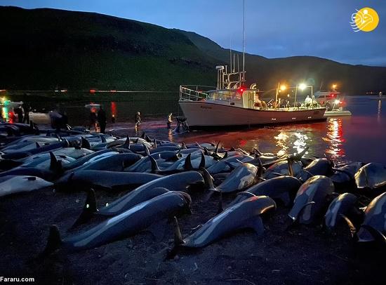 کشتار وحشتناک دلفین ها با چاقو+عکس