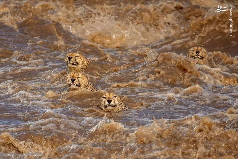 تلاش سخت یوزپلنگ ها برای عبور از رودخانه+عکس