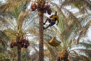برداشت خرما از نخلستان های جنوب - بوشهر