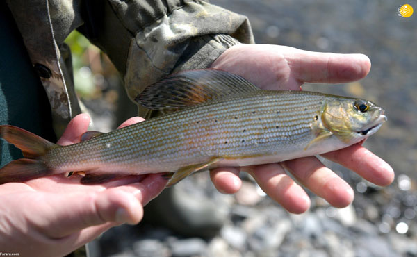 ماهی ای که پوتین آن را شکار کرد+عکس