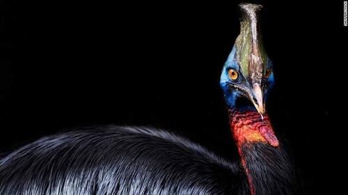 خطرناک ترین پرنده دنیا اهلی شد+عکس