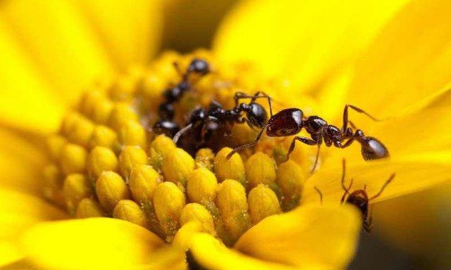 مورچهها آنتیبیوتیک تولید میکنند