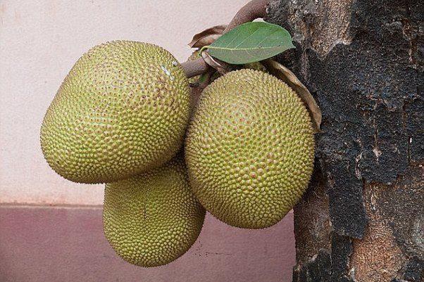 میوه عجیبی که به قحطی پایان میدهد+عکس
