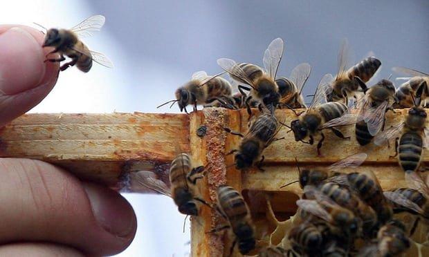 اصلاح نژاد زنبور عسل ایرانی پس از 14 نسل/بهبود رفتار دفاعی و تولید 3 برابری