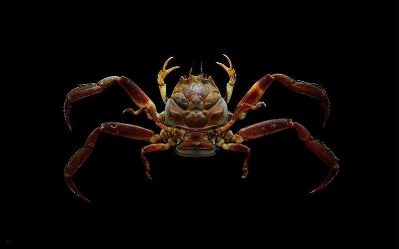 خرچنگی با چهرهای شبیه به انسان! + تصویر