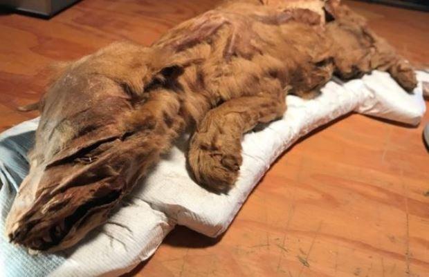 کشف مومیایی توله گرگ ۵۰ هزار ساله