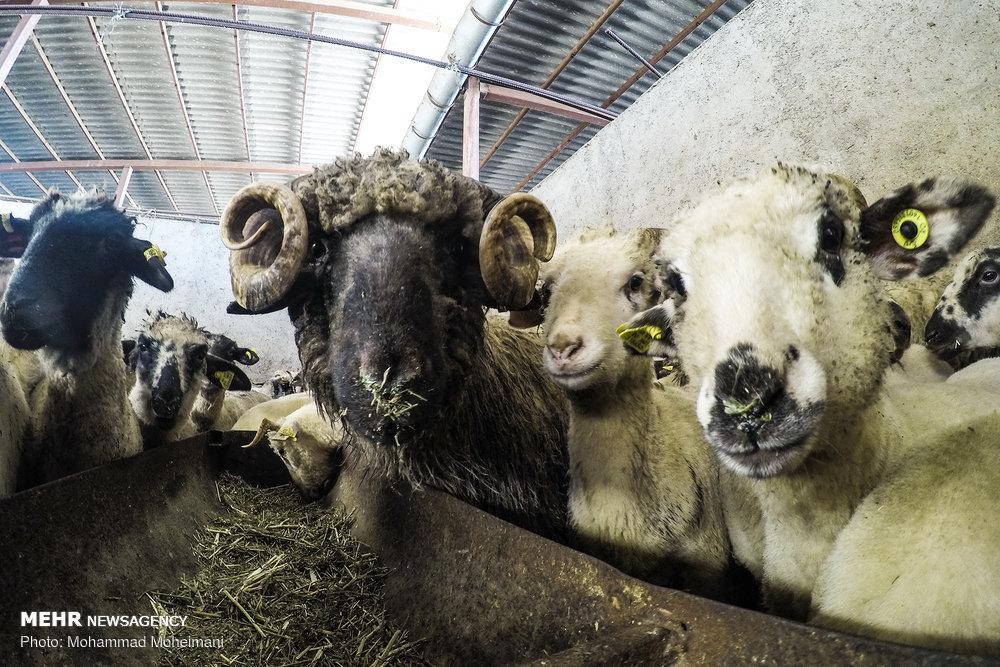 گوسفندهای رومانیایی وارد تهران شدند +عکس