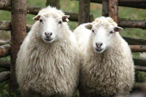 زورمون به این گوسفند نرسید! +عکس