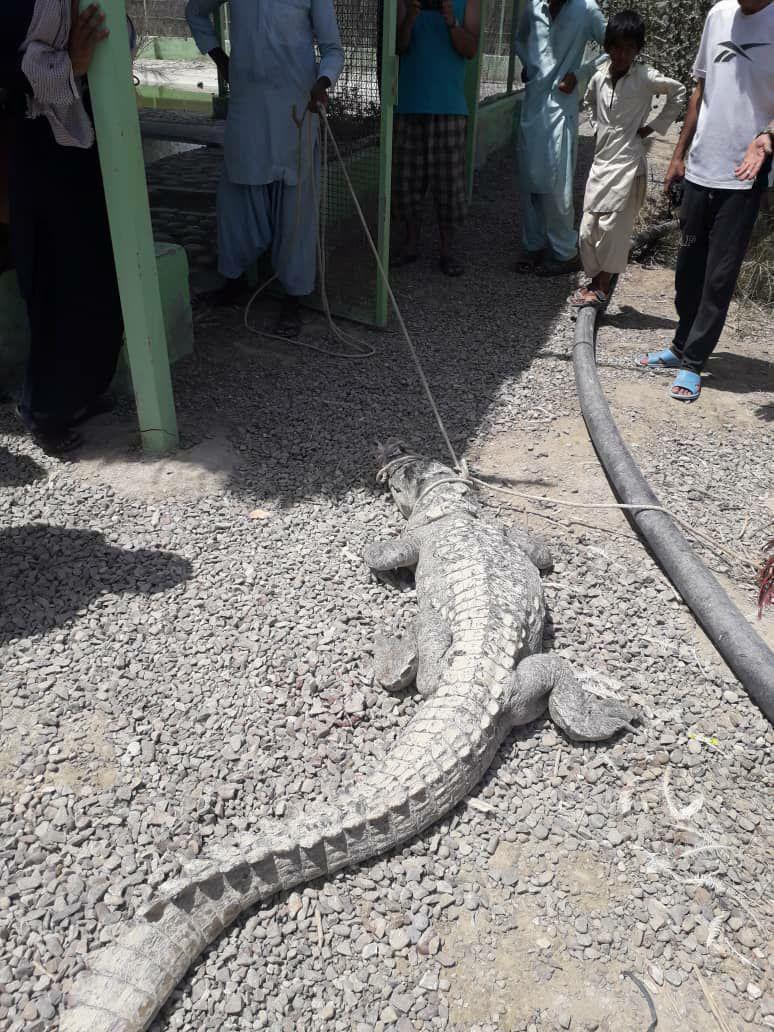 تمساحی که در خانه ای در چابهار پیدا شد+ عکس