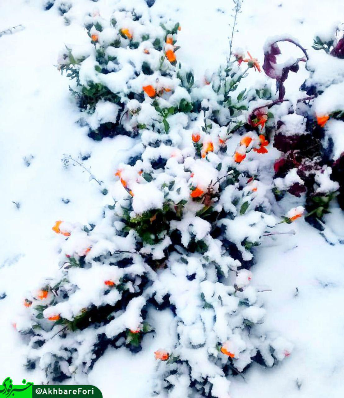 گلهای به زیر برف رفته در اردیبهشت ماه + عکس