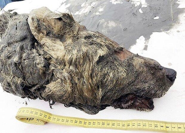 سر یک گرگ ۴۰ هزارساله در سیبری کشف شد