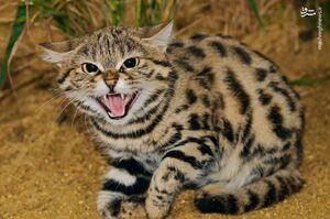 اولین تصویر از گربه وحشی در اصفهان +عکس