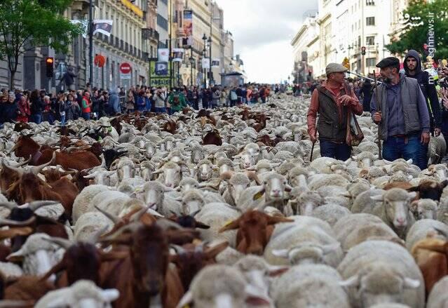 گله گوسفندان باعث ترافیک پایتخت شدند +عکس