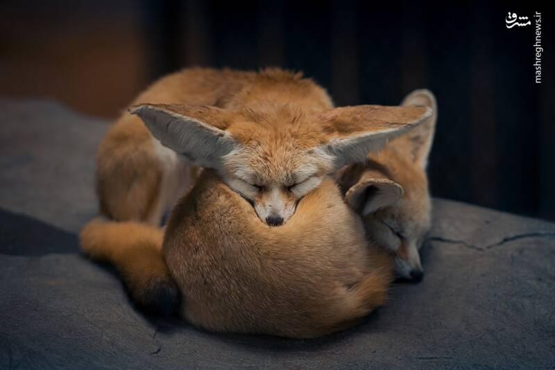خواب دیدنی دو روباه +عکس