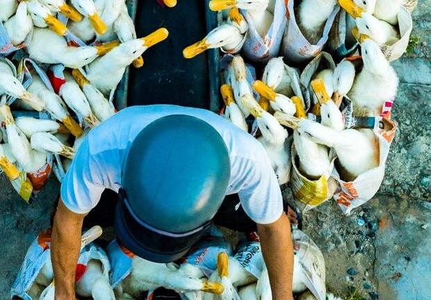 تصویر جالب از اردکهای موتورسوار +عکس