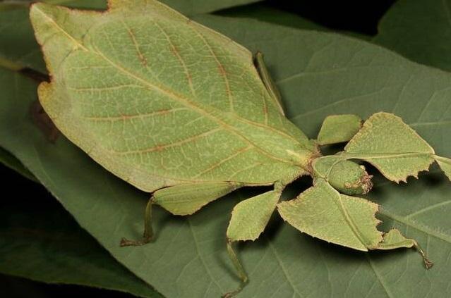 حشرهای که شبیه برگ درخت است +عکس