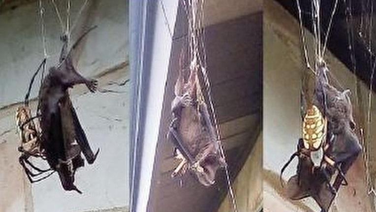 عنکبوتی که یک خفاش را شکار کرد +عکس