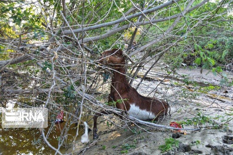تصاویر دردناک از تلف شدن حیوانات در سیل سیستان و بلوچستان +عکس