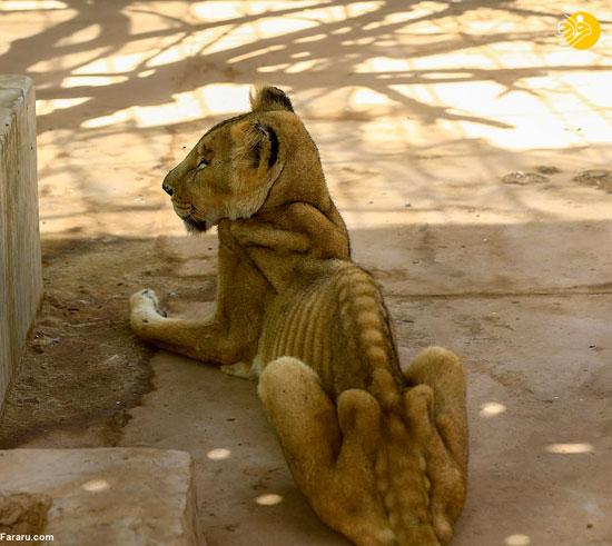 مرگ دردناک شیرهای گرسنه در باغ وحش +عکس