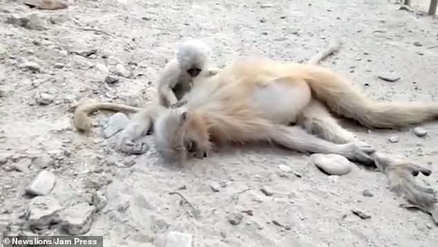 گریه بچه میمون بالا سر جنازه مادرش +عکس
