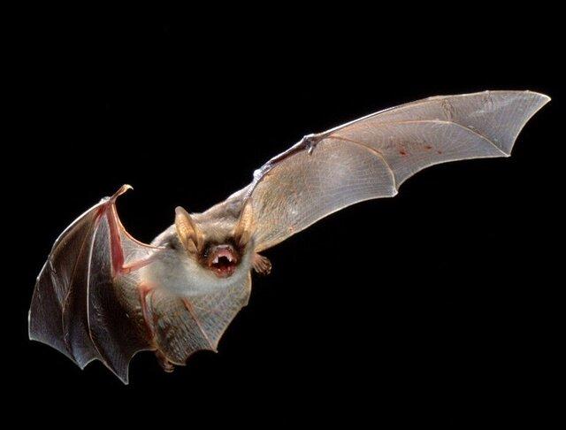 خفاشها هم فاصلهگیری اجتماعی را رعایت میکنند!