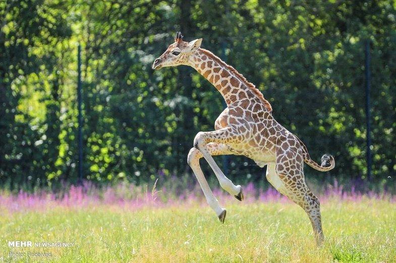 تولد زرافه در حال انقراض در باغ وحش+عکس