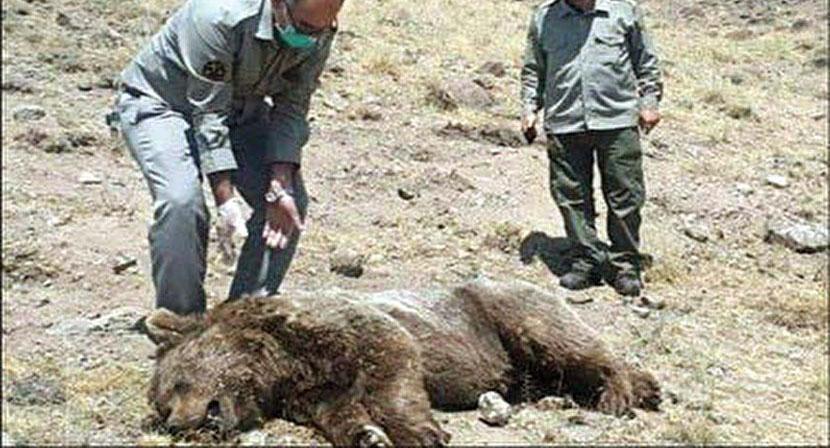 گوسالهای در مشکین شهر این خرس را کشت+عکس