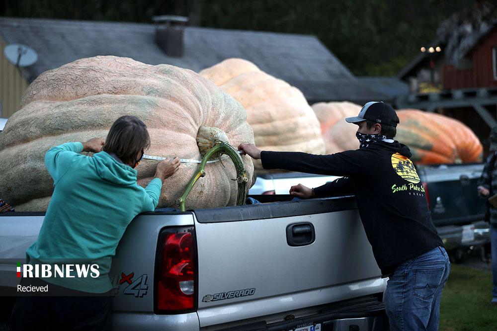 مسابقه بزرگترین کدو بین کشاورزان+عکس