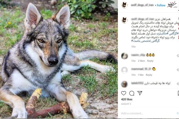 فروش توله گرگ به بچه پولدارهای تهران +عکس