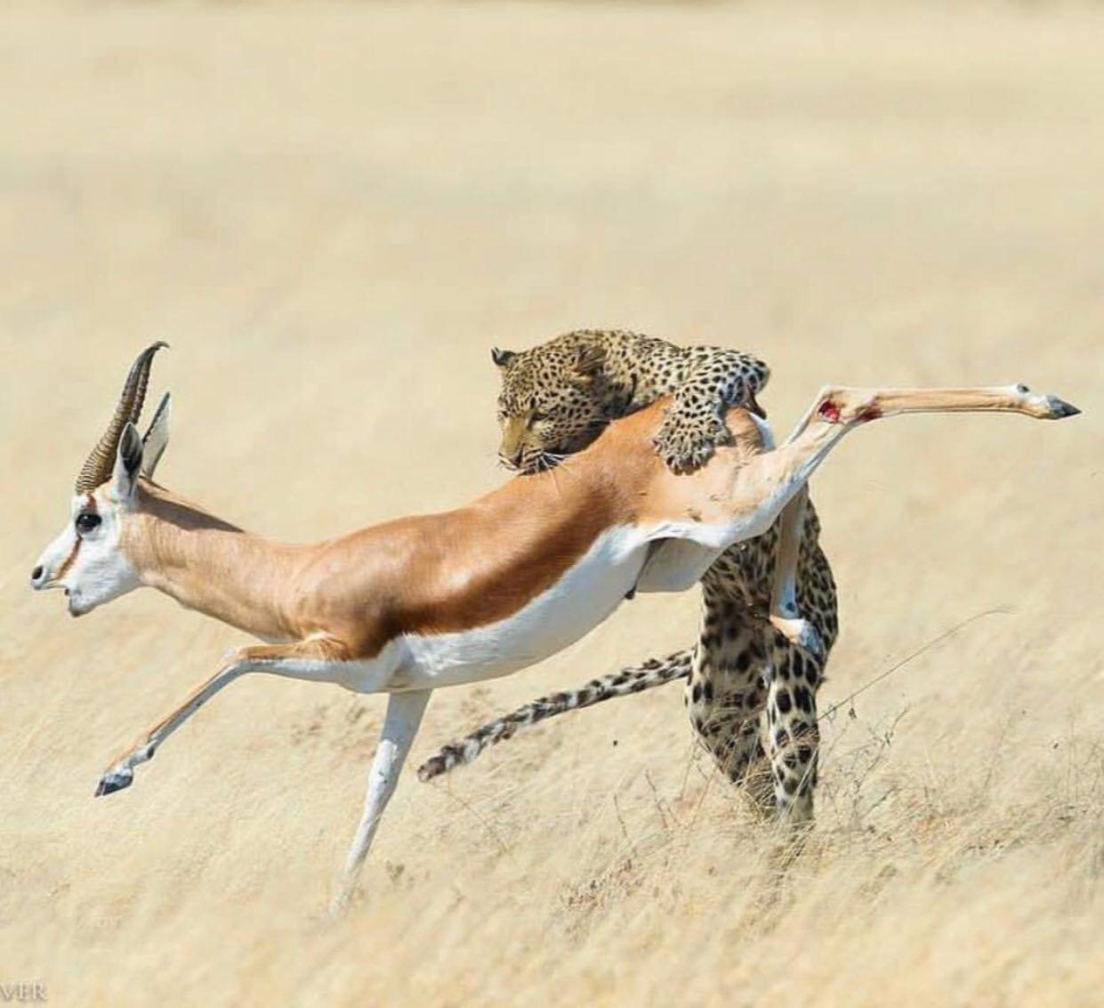 لحظه شکار آهو توسط پلنگ زبل+عکس