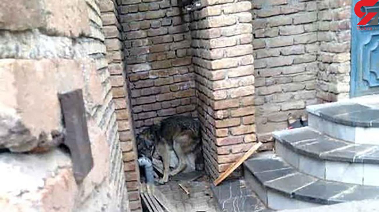 ۶ گرگ در خیابان های ارومیه مردم را به وحشت انداختند+عکس