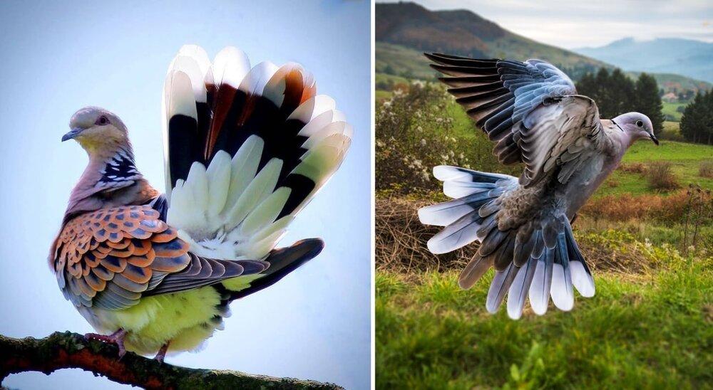 زیباترین کبوتر جهان+عکس