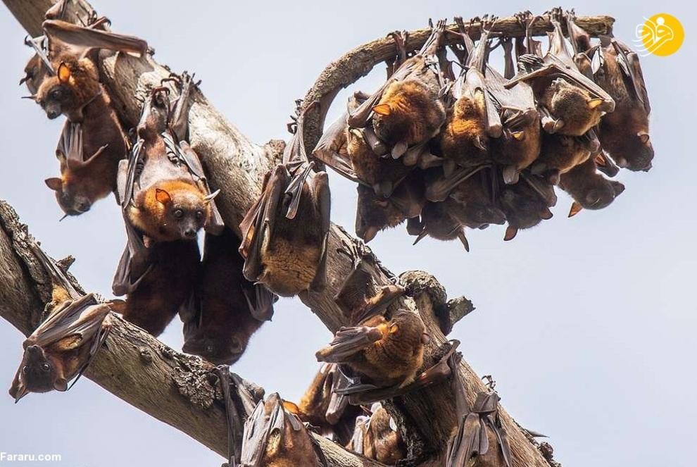 تصاویر ترسناک از هجوم خفاش های قرمز+عکس
