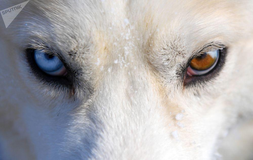 سگی با چشمان عجیب+عکس