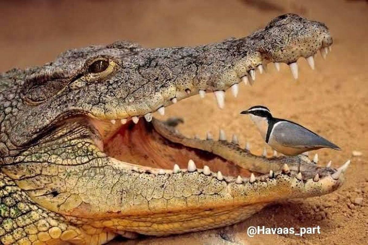 تمساح این حیوان را وقتی در دهانش هم باشد، نمیخورد+عکس