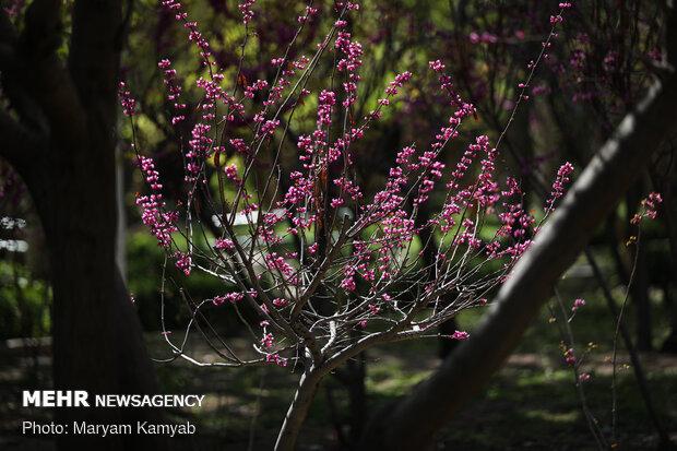 شکوفه های بهاری تهران