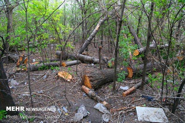 قلع و قمع درختان باغ شریعت اردبیل