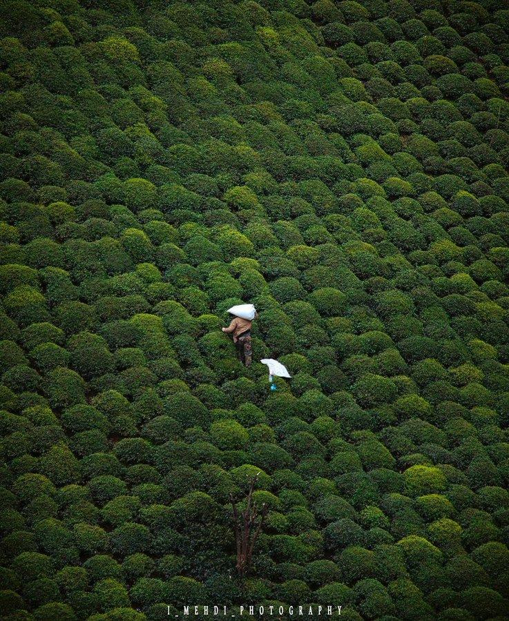 تصویر هوایی دیدنی از برداشت چای در گیلان+عکس