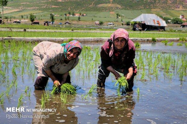نشاء برنج در مازندران