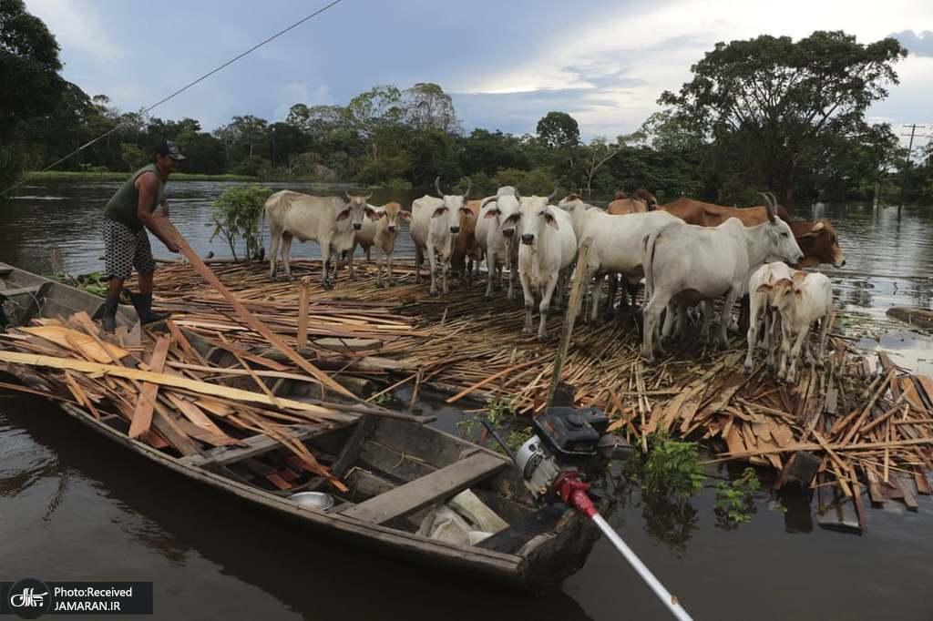 مردی در حال نجات گاوهایش از میان رودخانه+عکس
