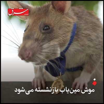 موش بزرگ مین یاب بازنشسته شد+عکس