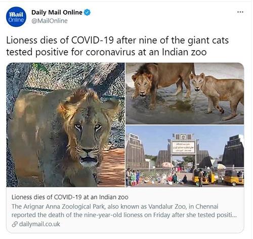 جان دادن یک شیر پس از ابتلا به کرونا +عکس