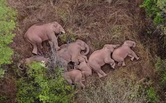 تصویری از خواب فیلهای وحشی که پربازدید شد+عکس