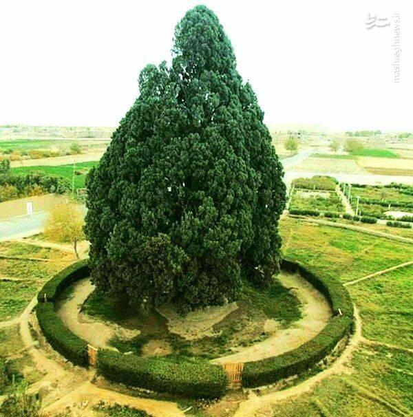 درخت ایرانی که سناش از بعضی کشورها بیشتر است+عکس