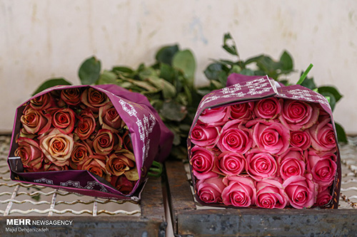 باور کنید این گلخانه گل رز هلندی در کویر یزد است+عکس