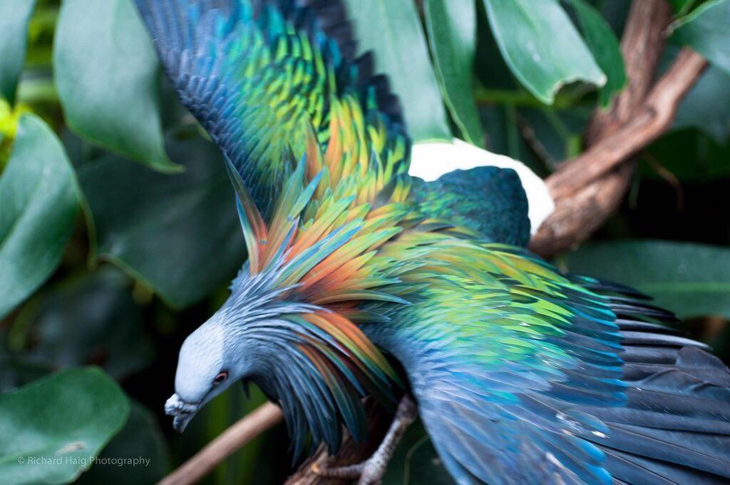 تصویر باورنکردنی از گونه خاص کبوتر+عکس